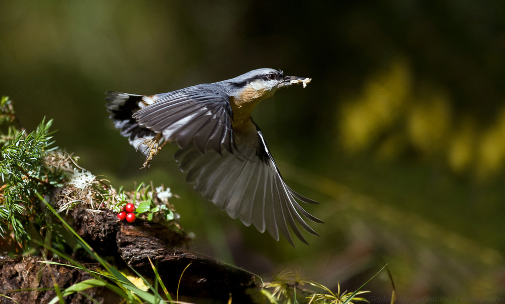 the-nuthatch-a32101345